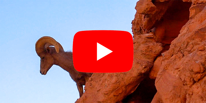 Valley of Fire Bighorn Sheep Video
